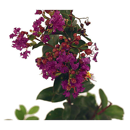 Purely Purple Black Diamond Crape Myrtle