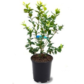 Brightwell Blueberry Plant, 1 lb. Pot