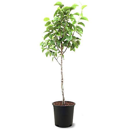 Hood Pear Tree, #5 Pot