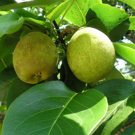 Pineapple Pear Tree, #5 Pot