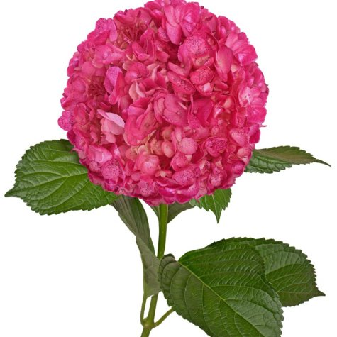 Painted Hydrangeas. Metallic Hot Pink with Glitter (Choose 14 or 26 stems)