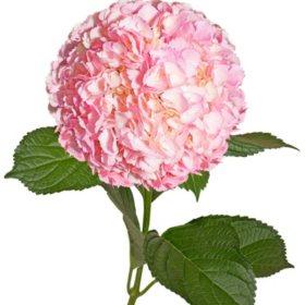 Painted Hydrangeas, Pink (14 stems)