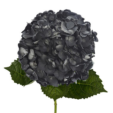 Painted Hydrangeas, Black (14 stems)