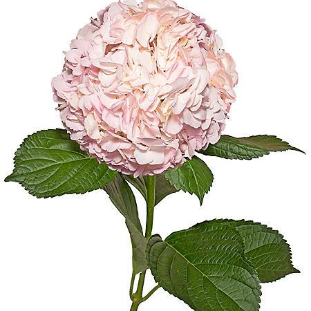 Painted Hydrangeas, Light Pink (14 stems)