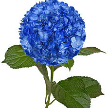 Painted Hydrangeas, Metallic Blue (Choose 14 or 26 stems)