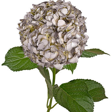 Painted Hydrangeas, Silver (Choose 14 or 26 stems)
