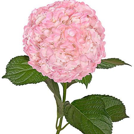 Painted Hydrangeas, Metallic Pink (Choose 14 or 26 stems)