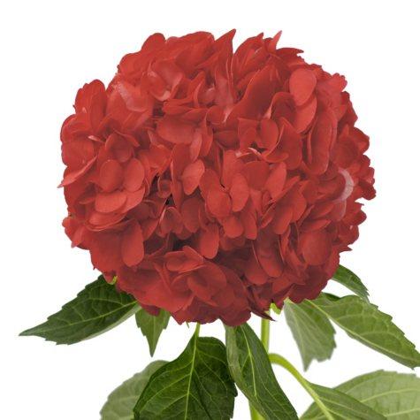 Painted Hydrangeas, Red (14 stems)