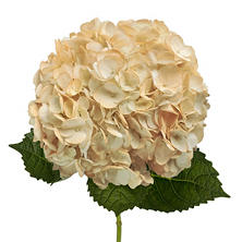 Painted Hydrangeas, Peach (14 stems)