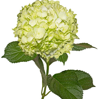 Painted Hydrangeas, Lemon Green (14 stems)