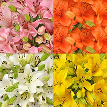 Asiatic Lilies, Assorted (40 stems)