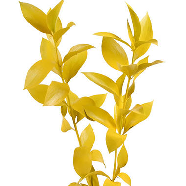 Painted Ruscus, Yellow (Choose 60 or 120 stems)