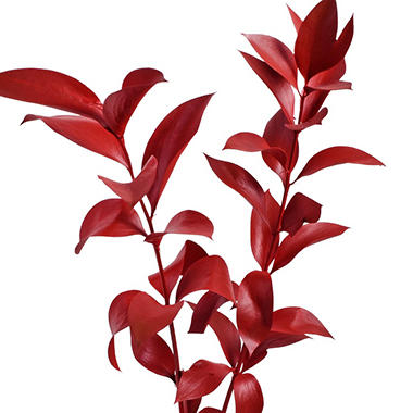 Painted Ruscus, Red (60 stems)