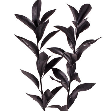 Painted Ruscus, Black (60 stems)