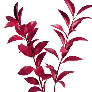 Painted Ruscus, Hot Pink (Choose 60 or 120 stems)