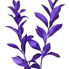 Painted Ruscus, Metallic Purple (Choose 60 or 120 stems)