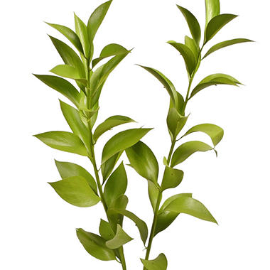 Painted Ruscus, Lemon Green (Choose 60 or 120 stems)