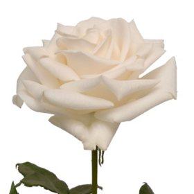 Roses, Vendela (100 stems)