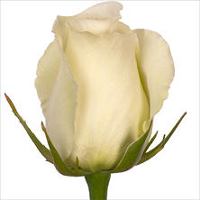 Roses, White Dove (100 stems)