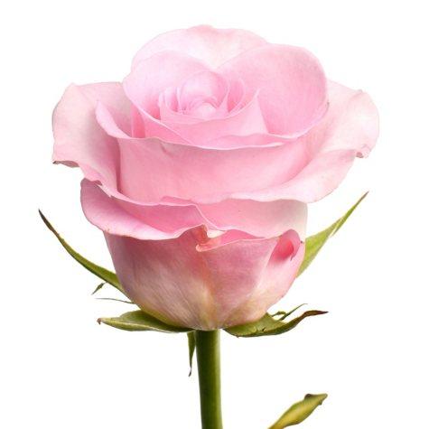 Roses, Sweet Akito (100 stems)
