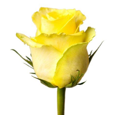 Roses, Tara (choose 50 or 100 stems)