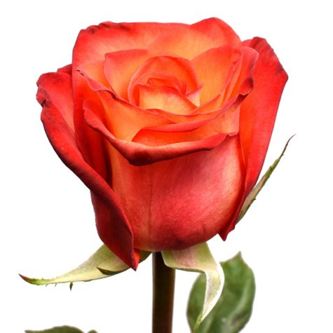 Roses, High and Orange (choose 50 or 100 stems)