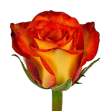 Roses, High and Magic (choose 50 or 100 stems)
