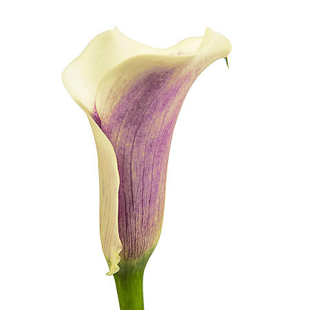 Mini Calla Lily,  Picasso (100 Stems)