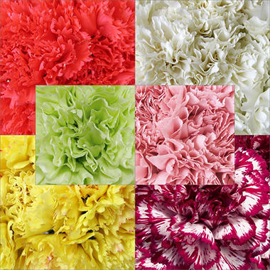 Assorted Carnations - 200 Stems