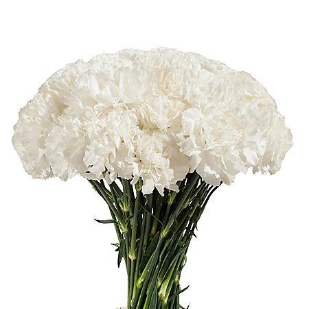 Carnations - White (200 stems)