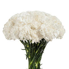 Carnations - White (200 stems)