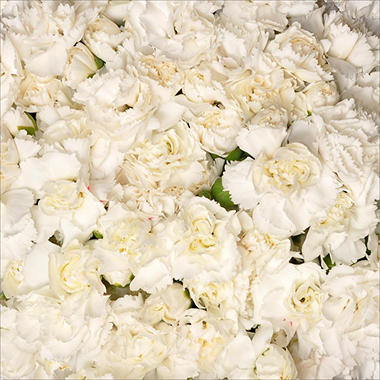 Mini Carnations - White (200 stems)