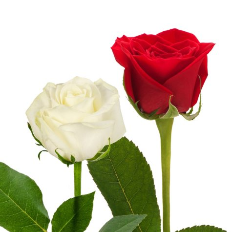 Roses, Red and White Combo (125 stems)