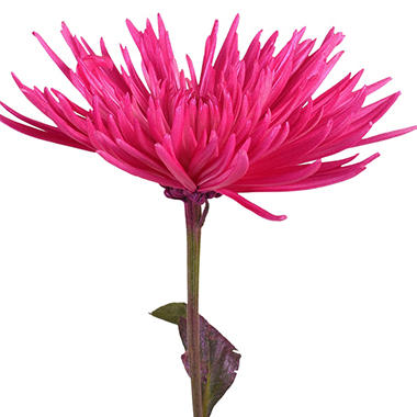 Painted Anastasia Spider, Metallic Hot Pink (Choose 50 or 100 stems)