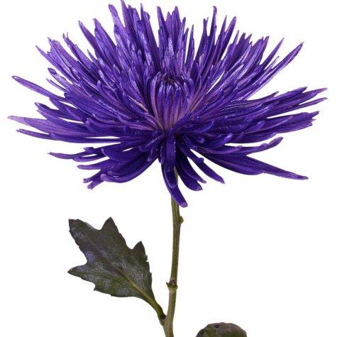 Painted Anastasia Spider, Metallic Lavender (Choose 50 or 100 stems)