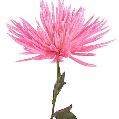 Painted Anastasia Spider, Metallic Pink with Glitter (Choose 50 or 100 stems)