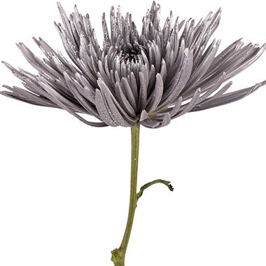 Painted Anastasia Spider, Metallic Silver with Glitter (Choose 50 or 100 stems)