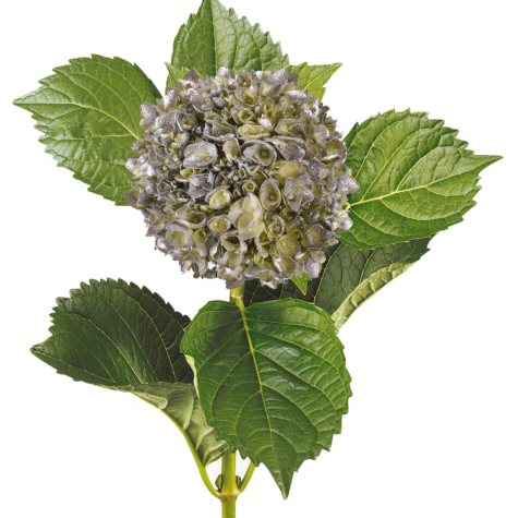 Painted Mini Green Hydrangea, Silver with Glitter (Choose 20 or 40 Stems)