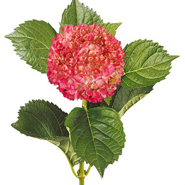 Painted Mini Green Hydrangea, Hot Pink (Choose 20 or 40 Stems)
