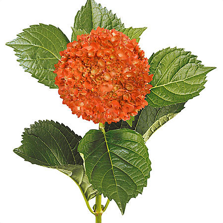 Painted Mini Green Hydrangea, Orange (Choose 20 or 40 Stems)