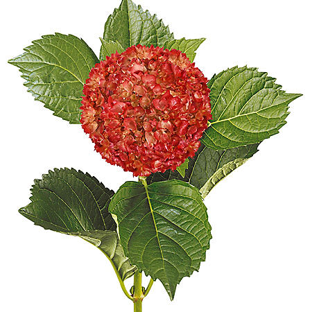 Painted Mini Green Hydrangea, Metallic Red (Choose 20 or 40 Stems)