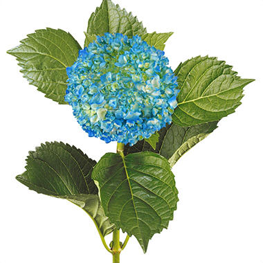 Painted Mini Green Hydrangea, Blue (Choose 20 or 40 Stems)