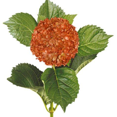 Painted Mini Green Hydrangea, Metallic Orange (Choose 20 or 30 Stems)