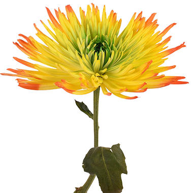 Painted Tritone Anastasia Spider, Green, Yellow, Orange (Choose 50 or 100 stems)