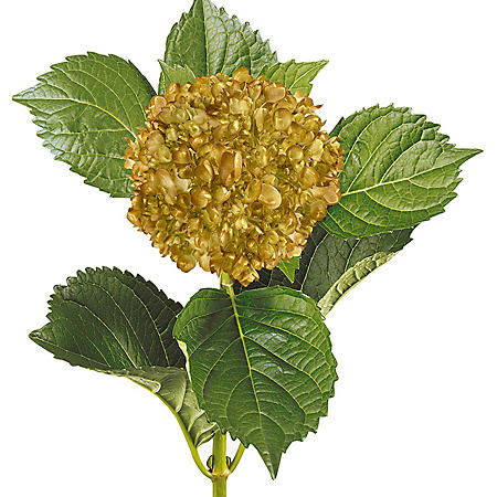 Painted Mini Green Hydrangea, Gold (20 Stems)