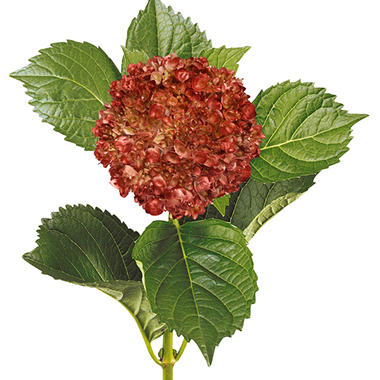Painted Mini Green Hydrangea, Bronze (Choose 20 or 40 Stems)