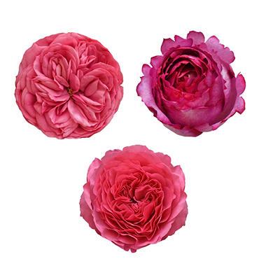 garden roses hot pink 36 stems