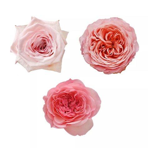 Garden Roses, Light Pink Variety (36 stems)