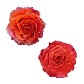 Garden Roses, Orange (36 stems)