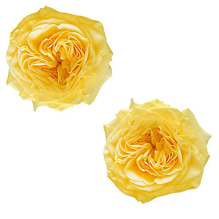Garden Roses, Yellow (36 stems)